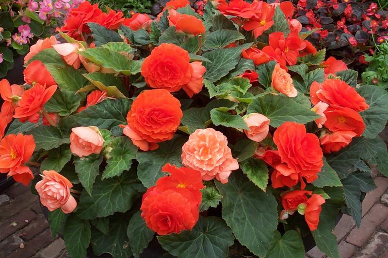 бегония красная садовые фото