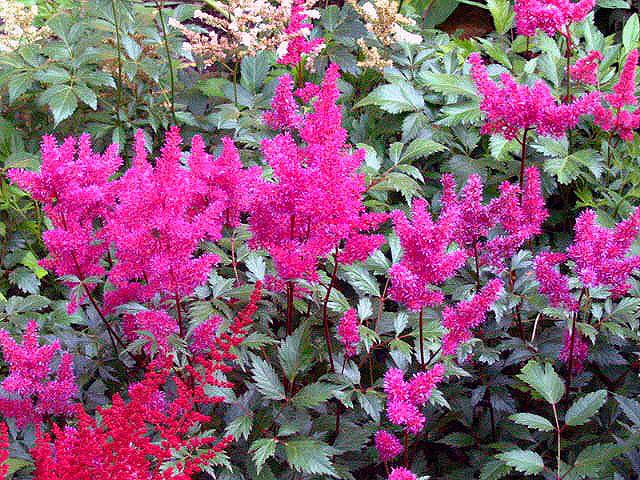 цветы астильба фото: