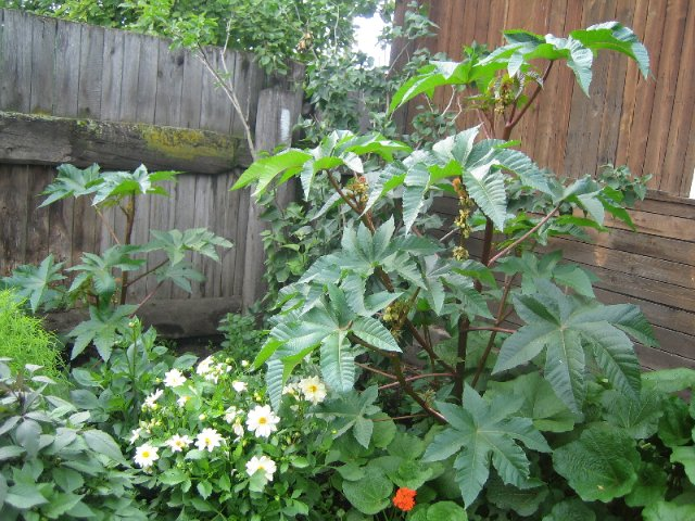 клещевина растение