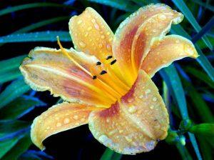 Посадка лилии и уход за ней