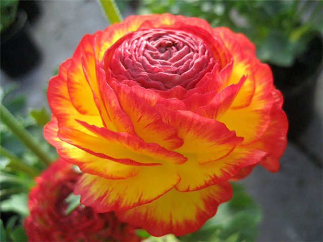 как выглядит лютик фото цветок