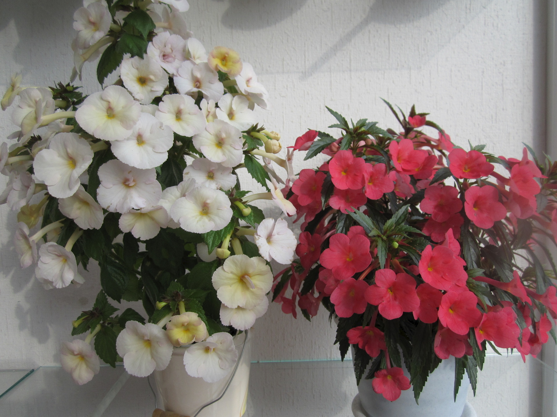 Фото комнатного цветка ахименес
