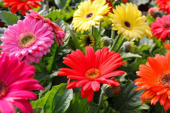 садовая гербера фото