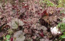 Мелкоцветковая гейхера