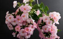 Ахименесы уход и выращивание