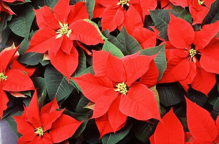 цветы комнатные рождественская звезда