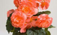 Салмон роуз