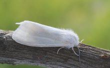 Американская белая бабочка