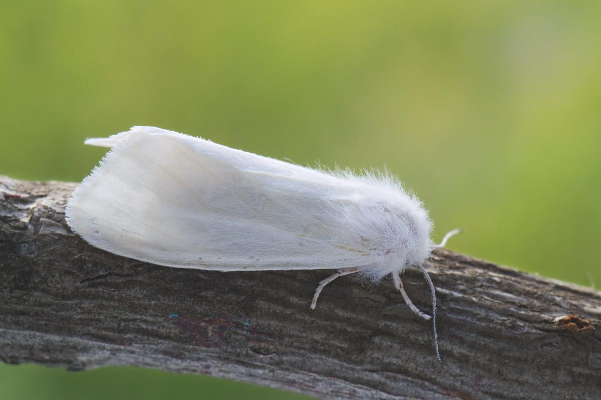 Американская белая бабочка: карантинный вредитель — способы борьбы
