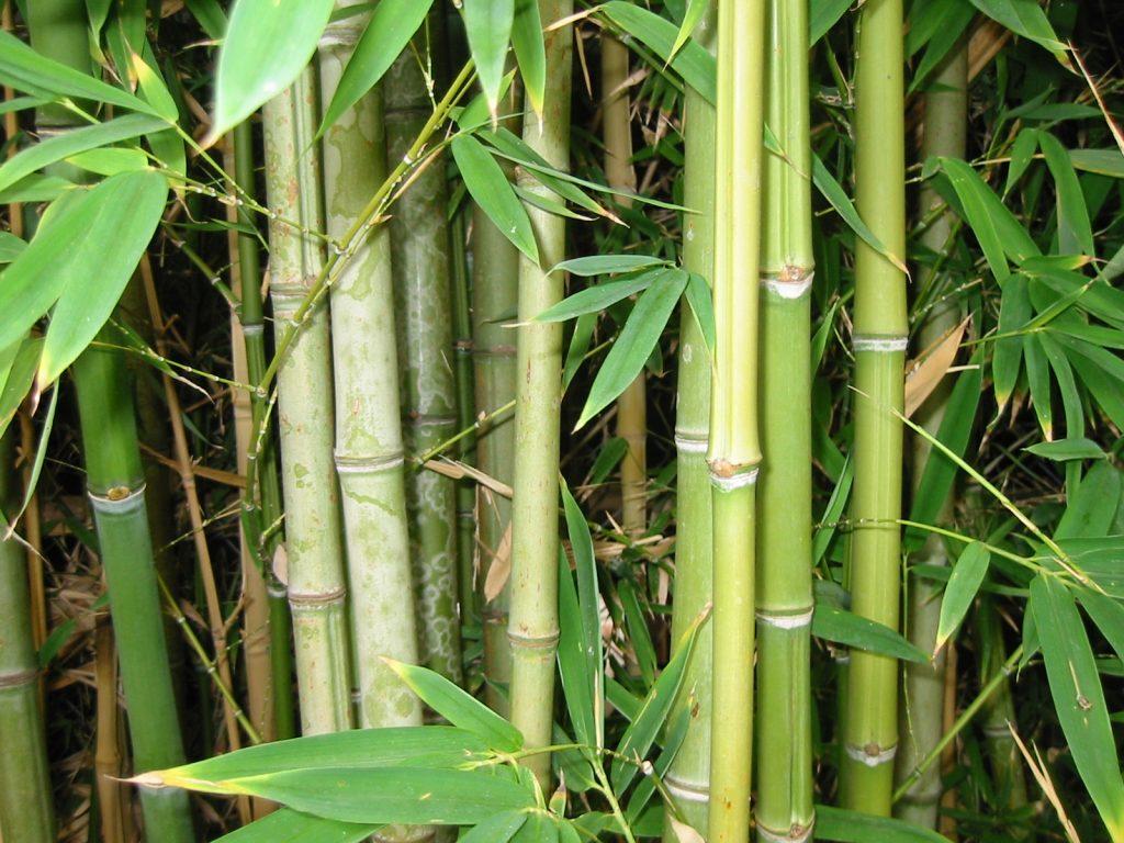 картинки фото бамбук