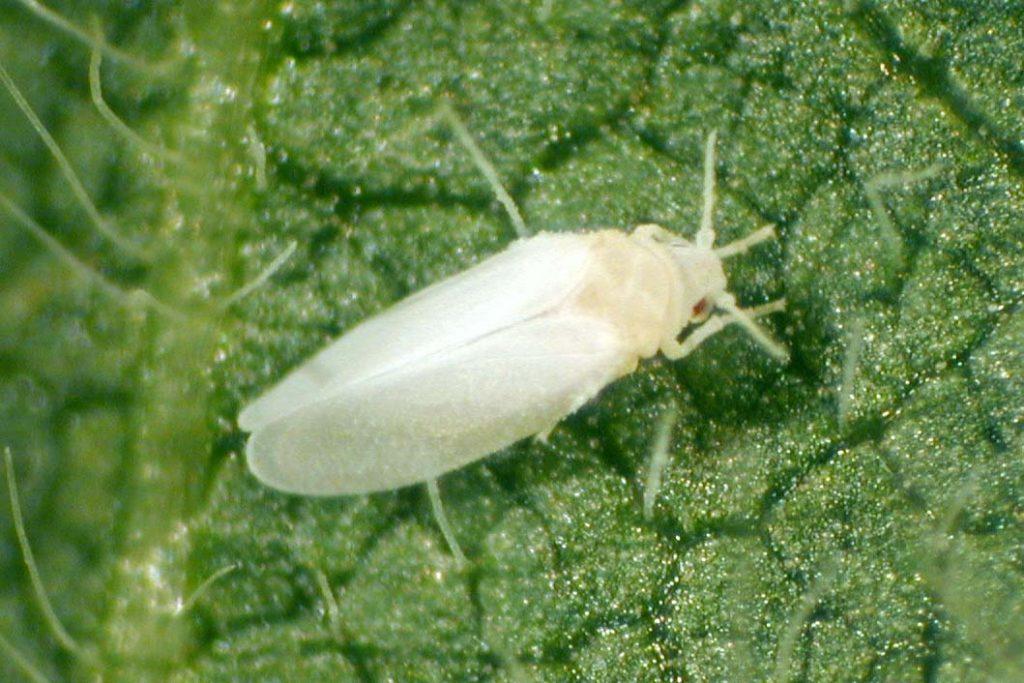 Белокрылка вредитель