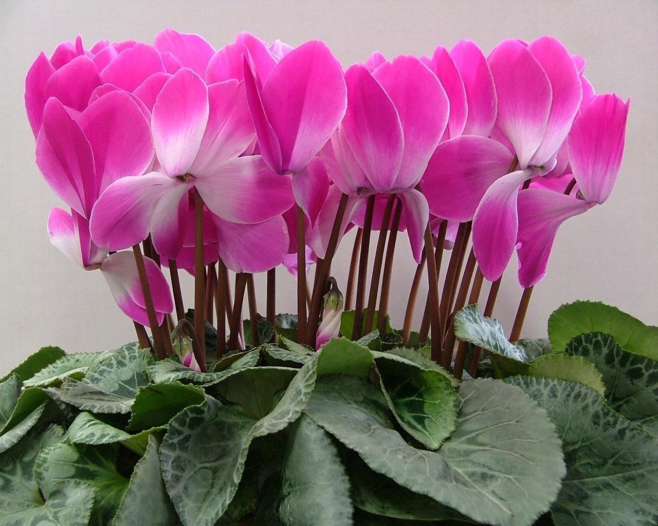 Цветы комнатные цикламен