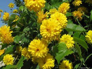 Цветы золотой шар