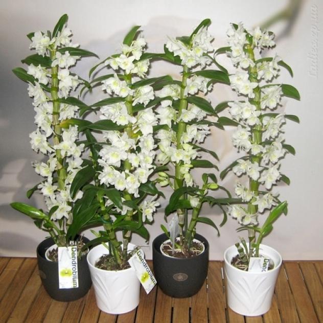 архидея или орхидея уход