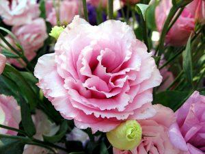 Розы похожие на пионы