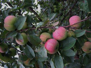 Сорт яблони мельба