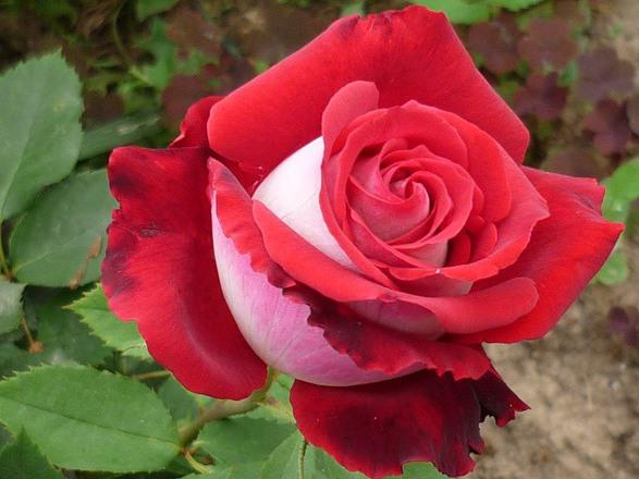 николь роза фото и описание