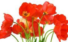 Обычные тюльпаны