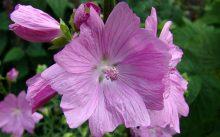 Мускусная розовая башня