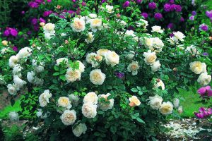 Розы шрабы