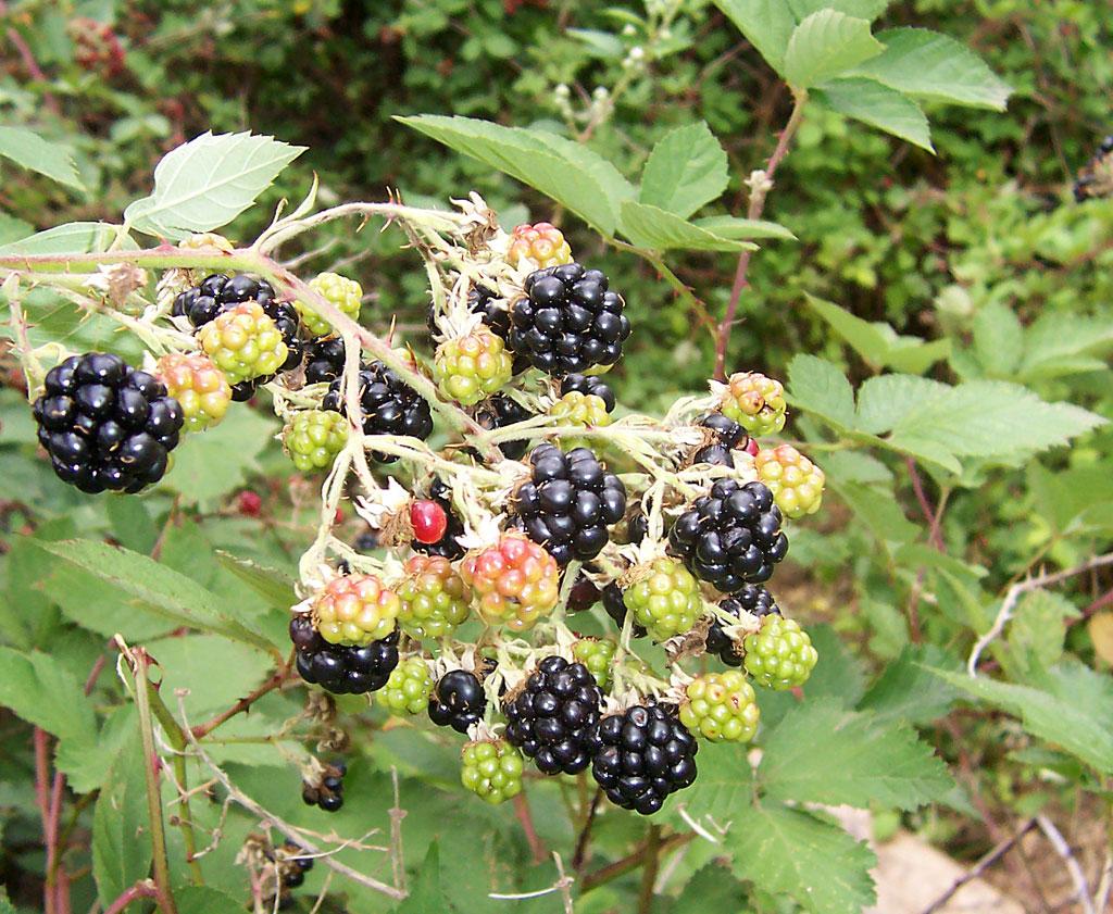 Садовая ежевика: посадка и уход - видео-инструкция размножения и посадки