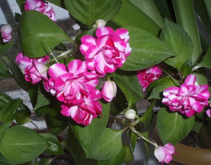 Цветок мокрый ванька болезни