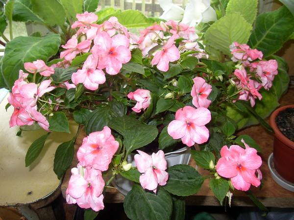 Цветы ванька мокрый посадка и уход фото