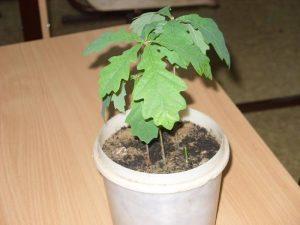 Выращивание дуба