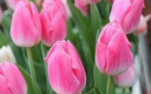 Тюльпаны: посадка и уход осенью в открытом грунте: видео о правильной посадке