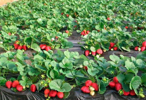 Как вырастить клубнику из семян в домашних условиях 6