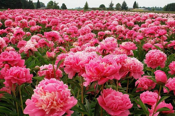 Цветущие пионы
