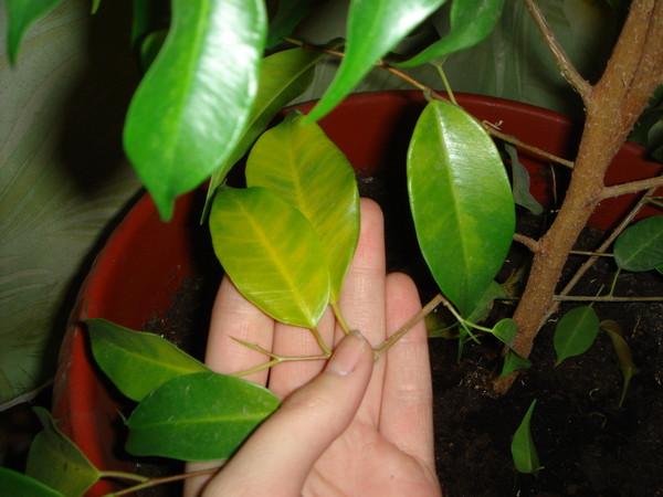 У фикуса опадают листья