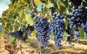 Посадка винограда черенками - подготовка и уход в домашних условиях