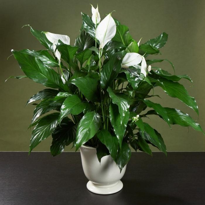 Растение спатифиллум фото уход в домашних условиях