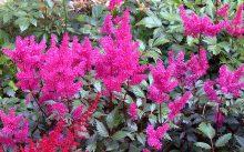 Астильба насышенно розового цвета