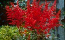 Астильба красного цвета