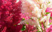 Астильба белая и розовая