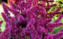 Астильба пурпурная