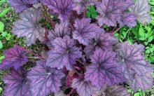 Гейхера Фиолетовый шатер