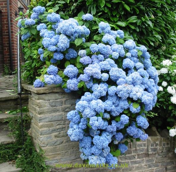 Гортензия садовая многолетняя