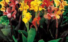 Почему не цветет канна в домашних условиях