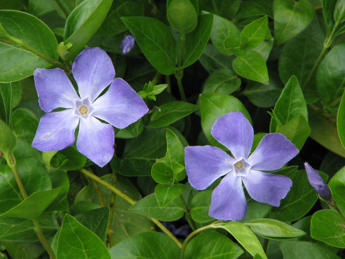 Трава барвинок лечебные свойства и применение