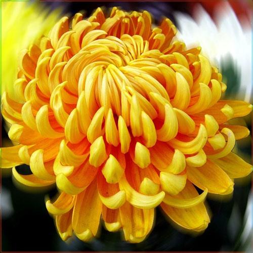 Нужно ли обрезать хризантемы на зиму и как их укрывать