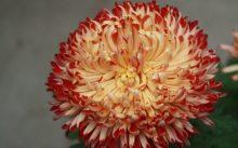 Индийская хризантема