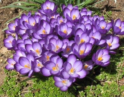 Можно ли крокусы пересаживать весной. Когда можно пересаживать крокусы