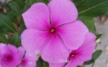 Розовый барвинок