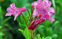 Жестковолосистый рододендрон