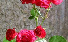 Бенгальская красная