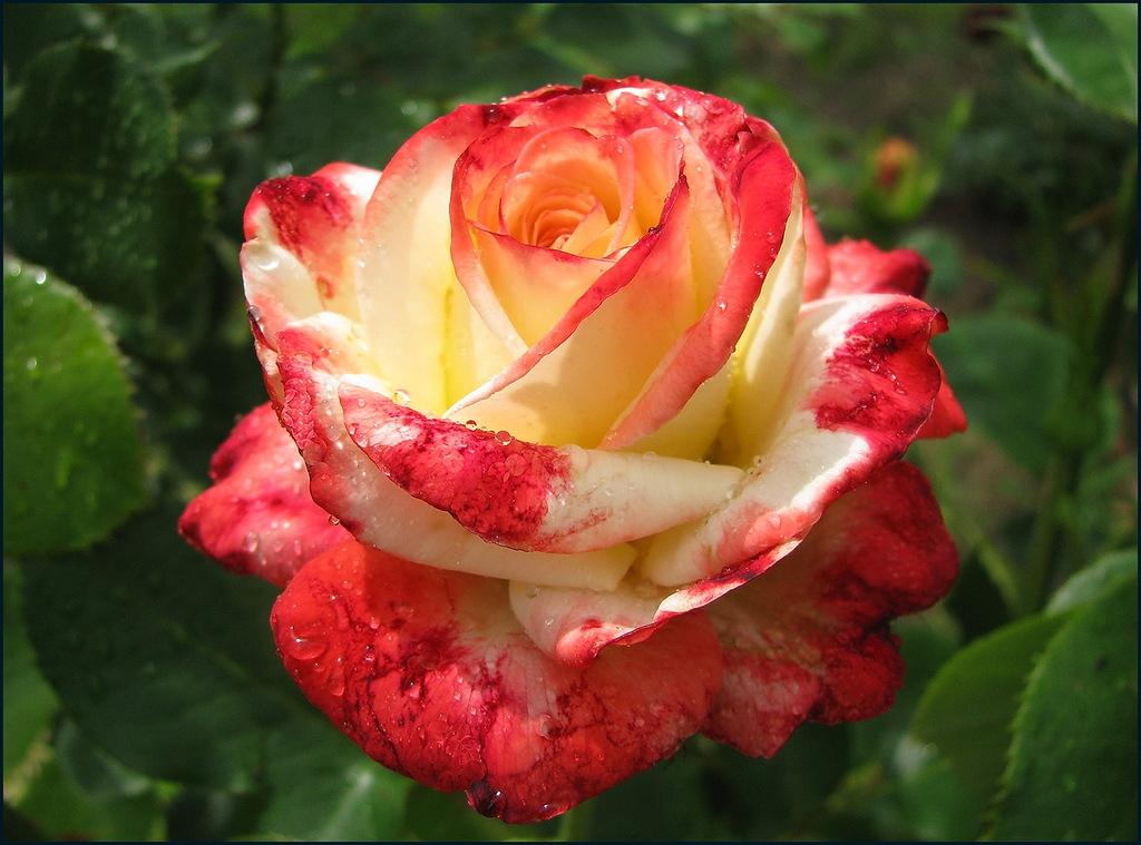 Картинки роз чайно гибридных роз