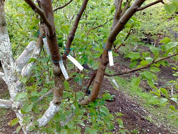 Окулировка плодовых деревьев практические рекомендации